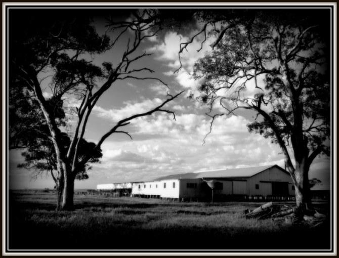 Shearing shed4